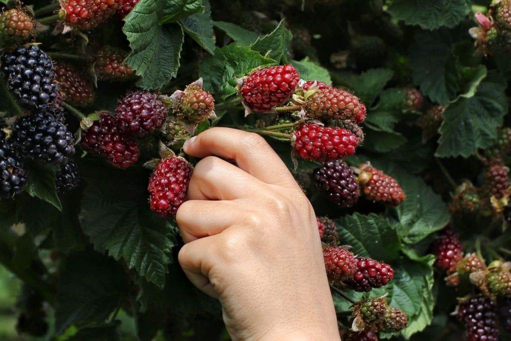 Hvor køber jeg brombærbuske?